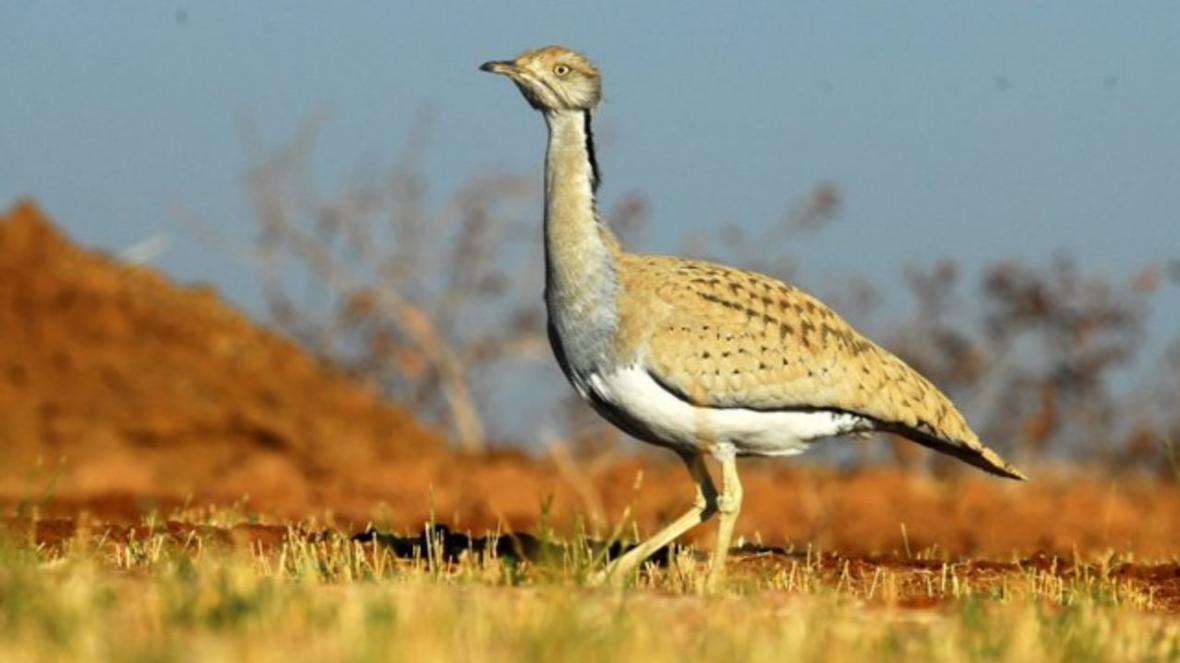 خبرنگاران هوبره مرغ بمب افکن کویر، پرنده ای در خطر انقراض